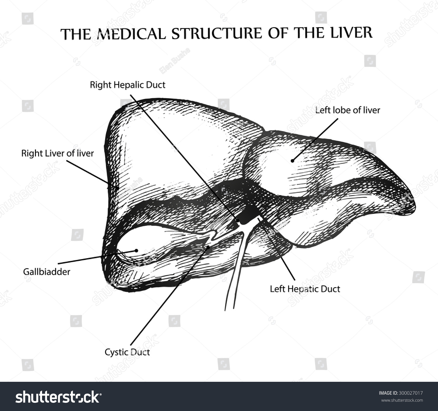 Medical Structure Liver Stock Vector Royalty Free 300027017