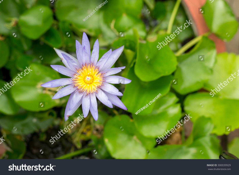 closeup purple lotus space on background stock photo