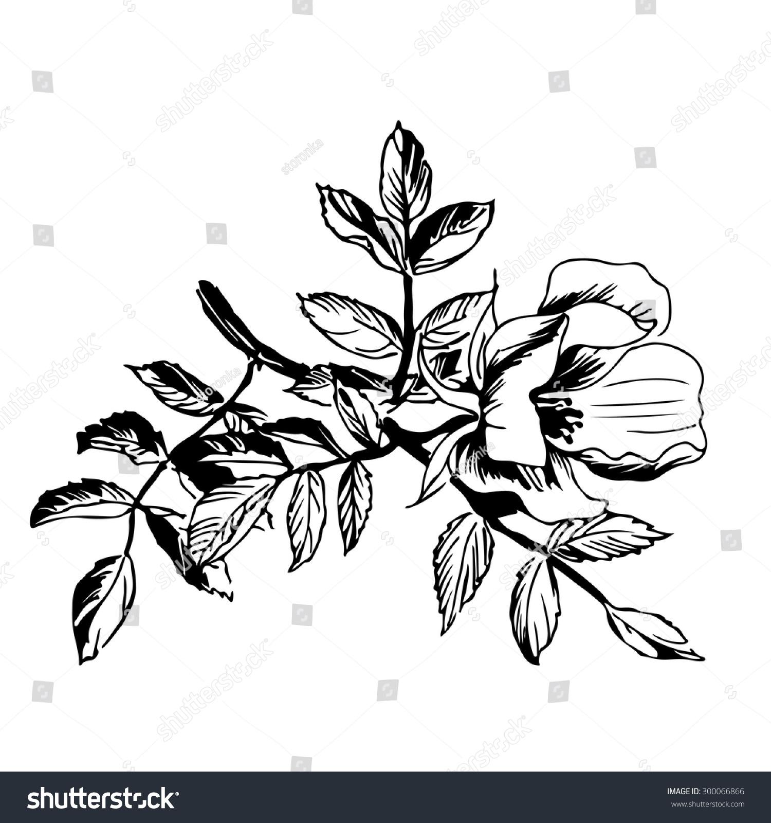 Botanical illustration black and white - photo#6