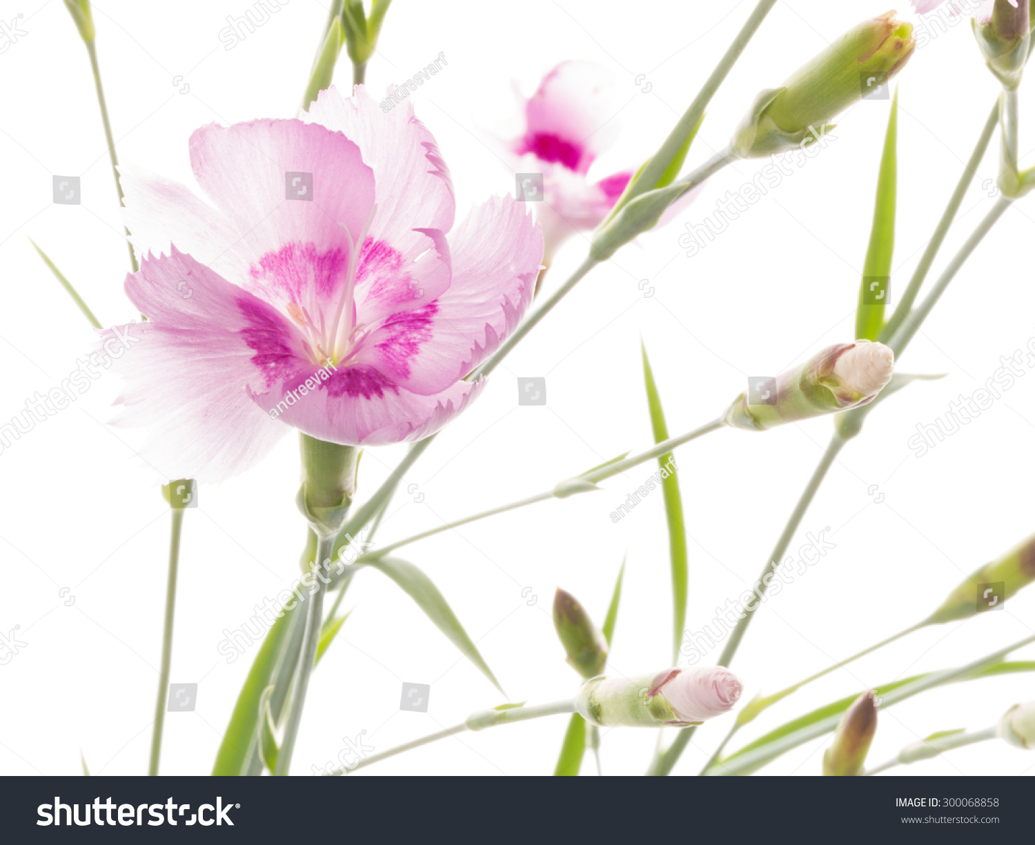 Delicate Pink Flower Beautiful Wild Carnation Stock Photo Edit Now