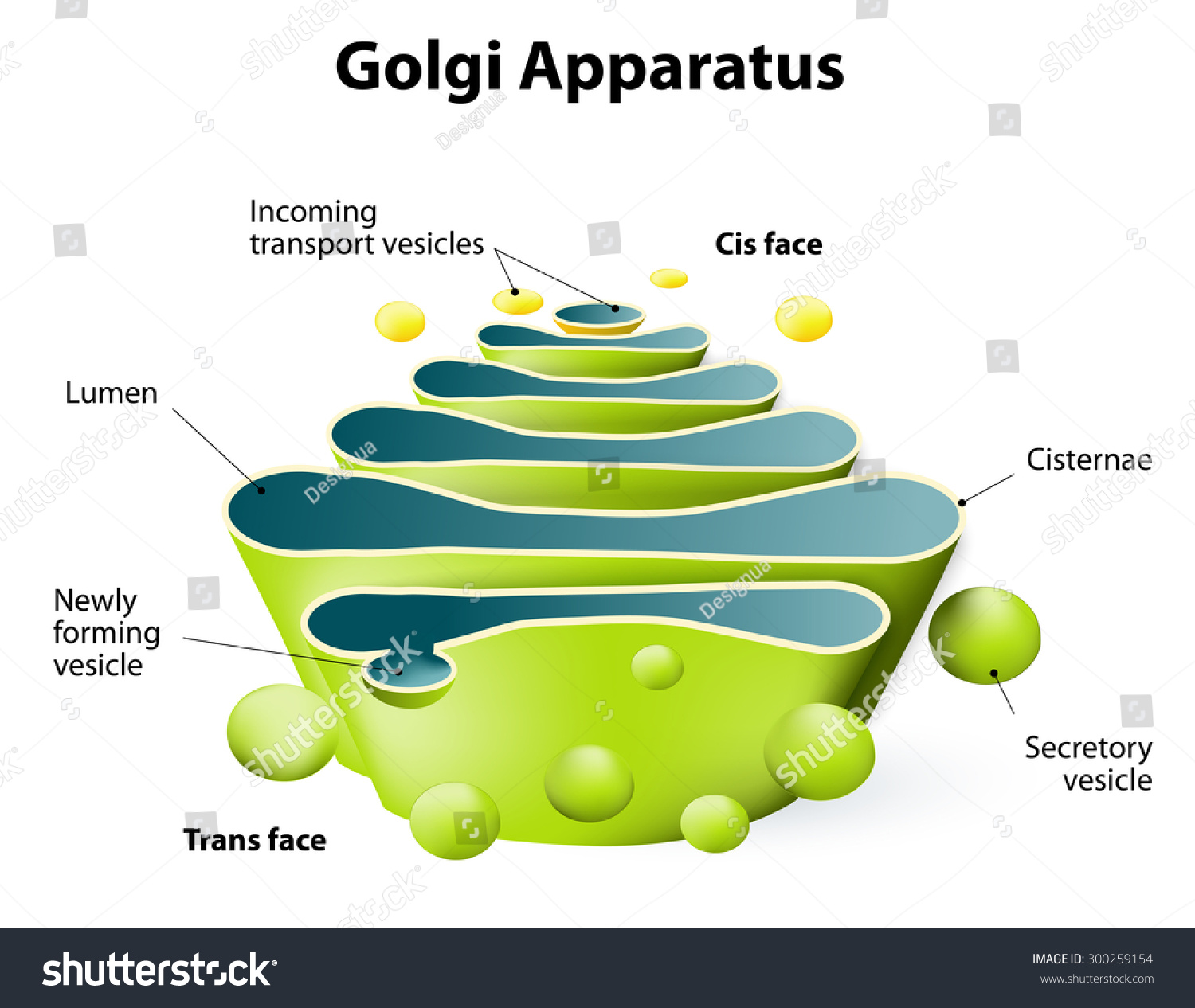 What are some facts about the Golgi apparatus?
