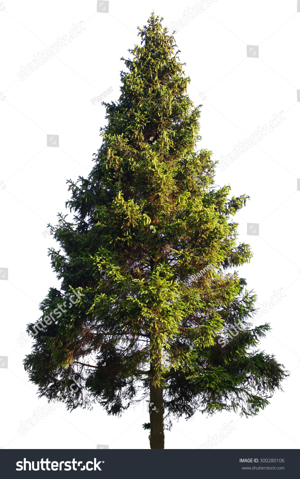 Fir tree isolated on white #300280106