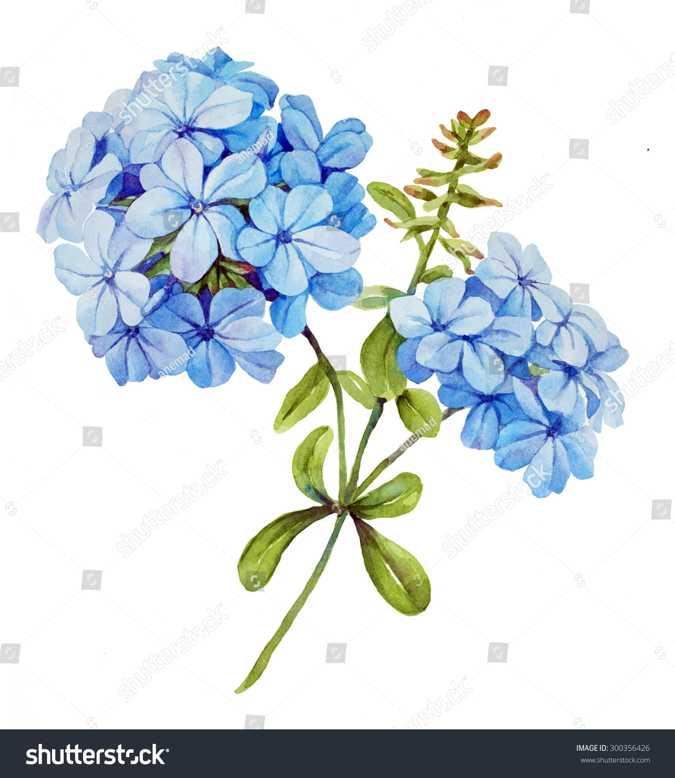Watercolor Blue Jasmine Flower Stock Illustration 300356426