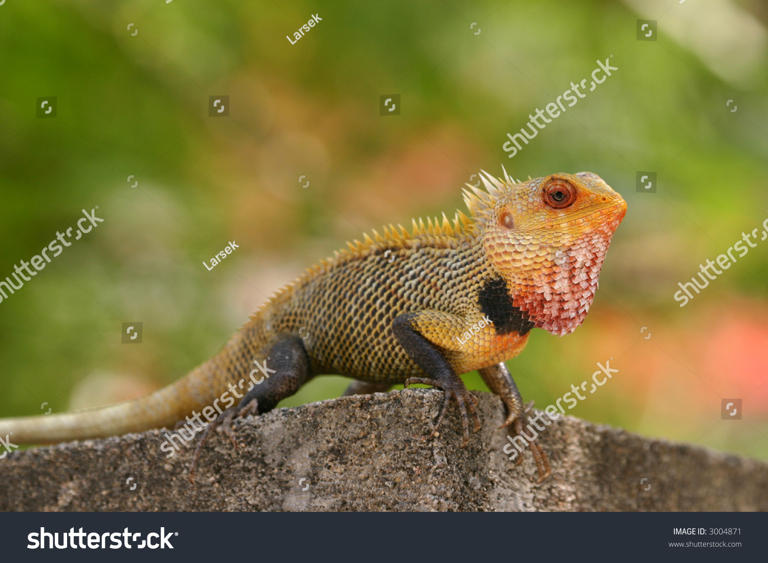 Indian Garden Lizard Calotes Versicolor Vellore Stock Photo (Edit ...