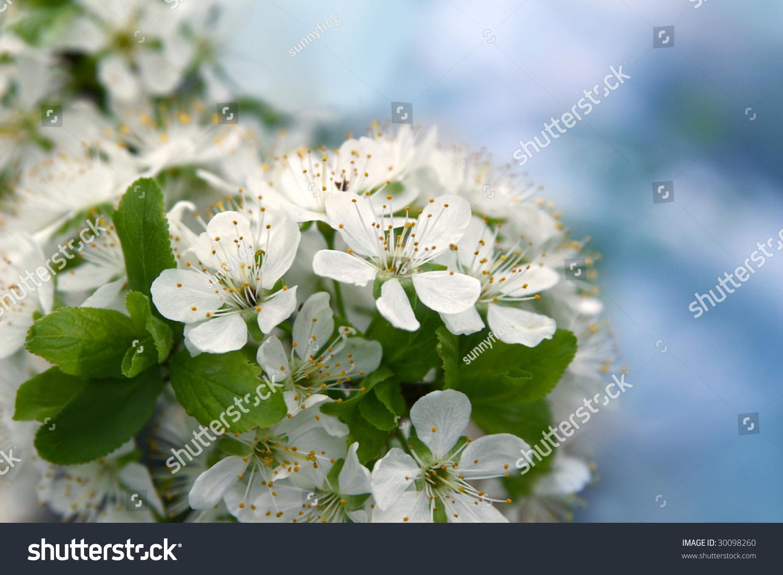 Spring White Plum Flower On Sky Stock Photo 100 Legal Protection