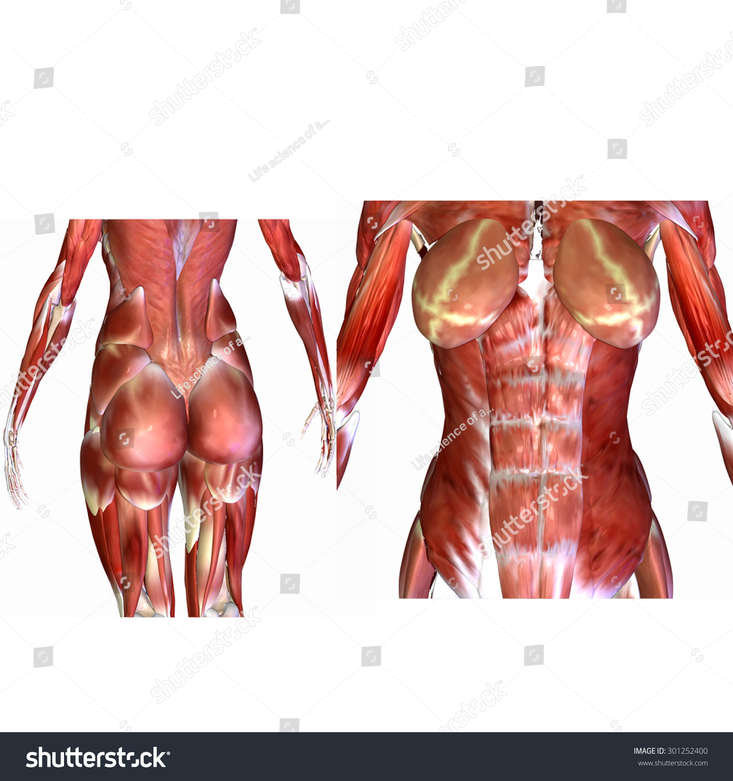 female human body muscles stock illustration 301252400 - shutterstock, Muscles
