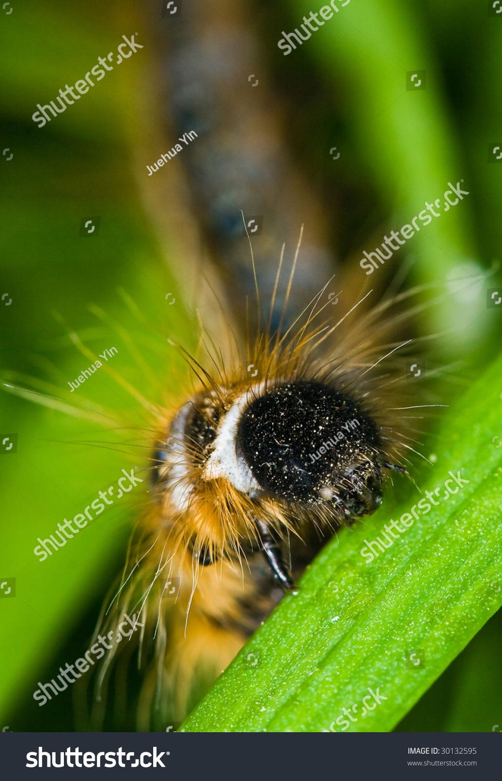 A macro photo of tent caterpillar & Macro Photo Tent Caterpillar Stock Photo 30132595 - Shutterstock