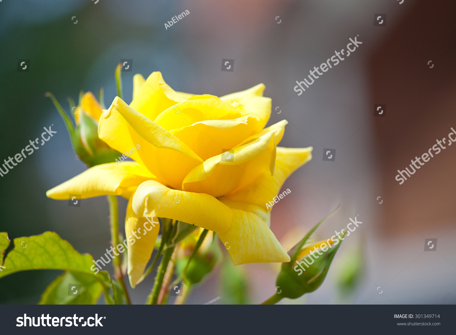Bunch of beautiful lovely yellow roses flowers and plants ez canvas id 301349714 izmirmasajfo