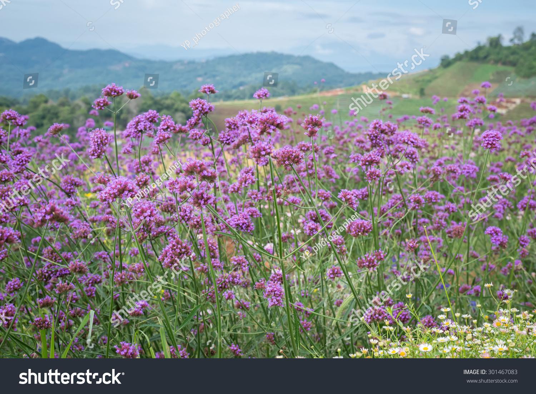 Sand Verbena. Wild flowers. Anza-Borrego Desert state park. California   EZ  Canvas 2588badea37
