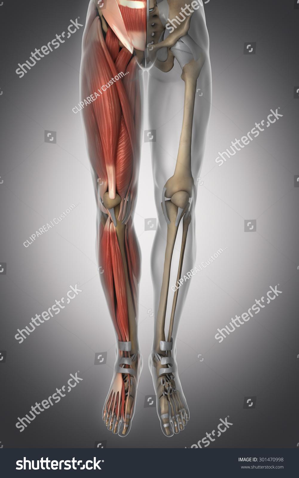 Leg Anatomy Muscle Bone Cartilage Ligament Stock Illustration ...