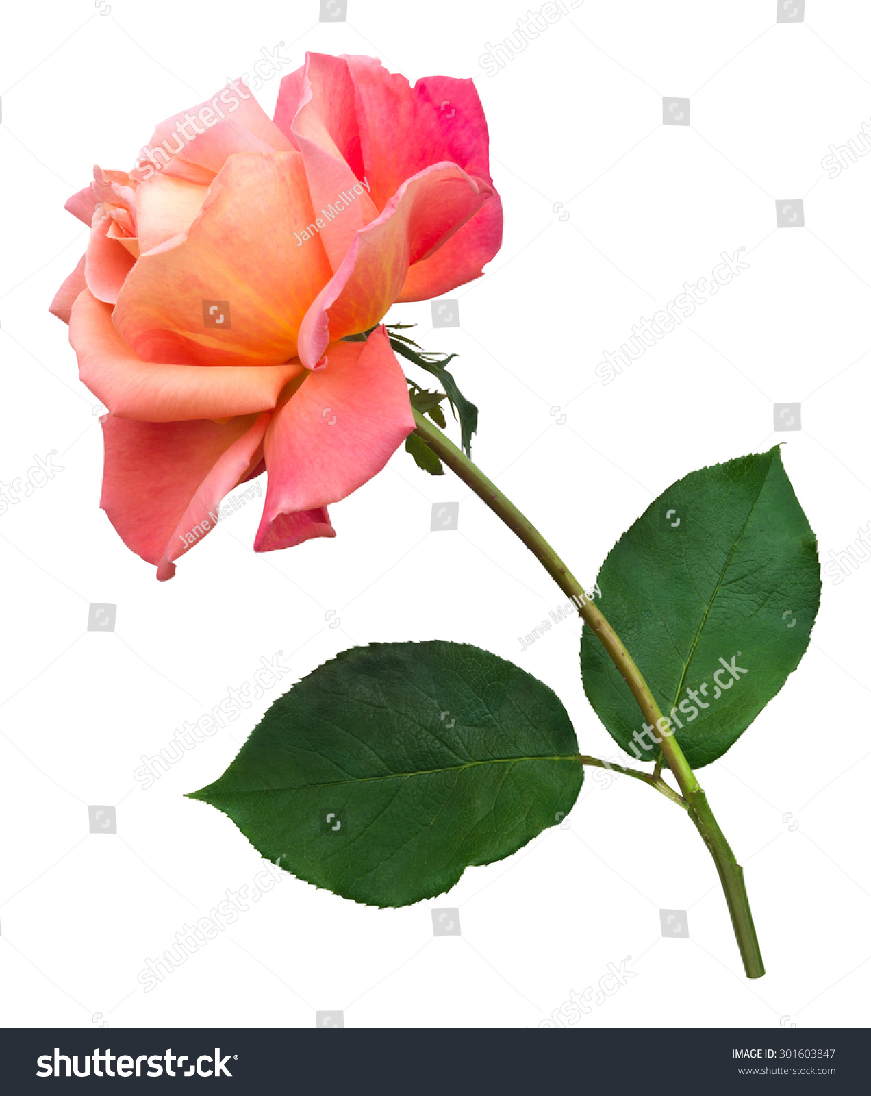 Single Orange Rose On Long Stem Stock Photo Edit Now 301603847