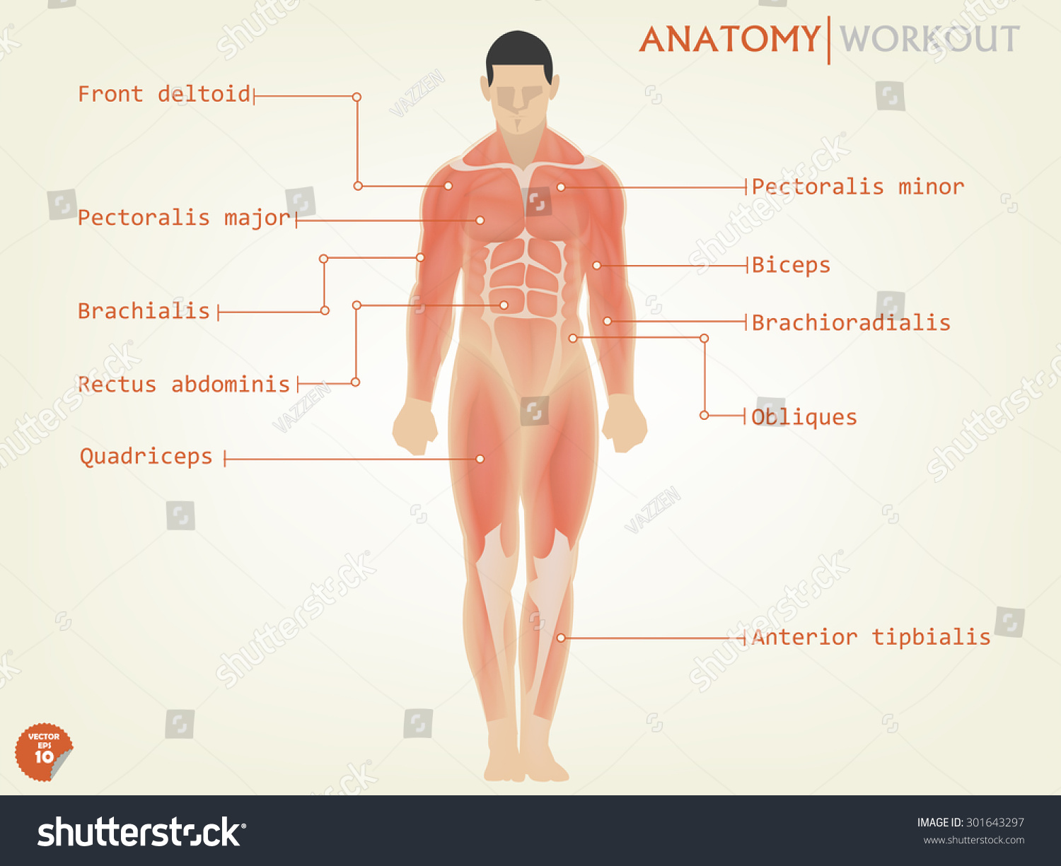Beautiful Design Human Anatomy Front Side Stock Vector 301643297 ...