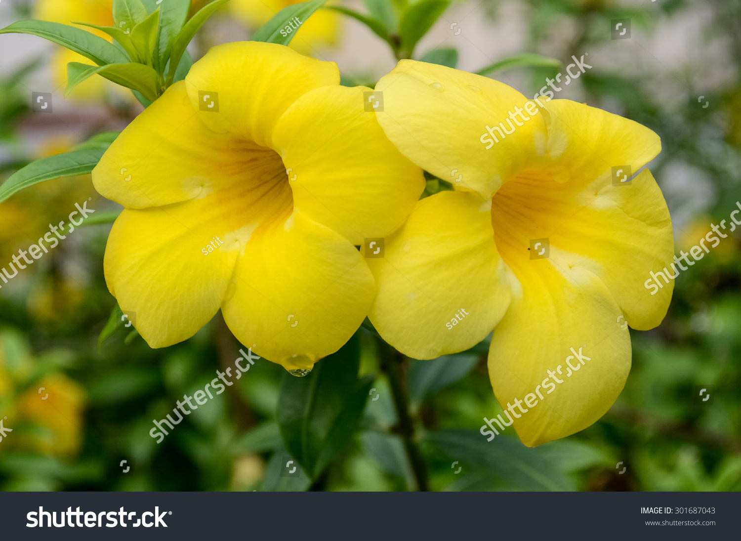Yellow Oleander Blossom In Morning Ez Canvas
