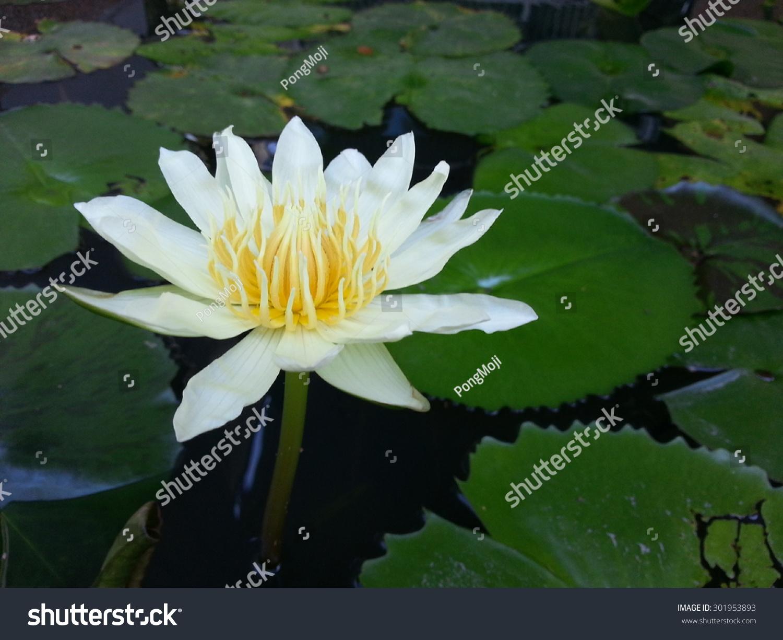 Beautiful Lotus Flower Naturally Beautiful Flowers Stock Photo Edit