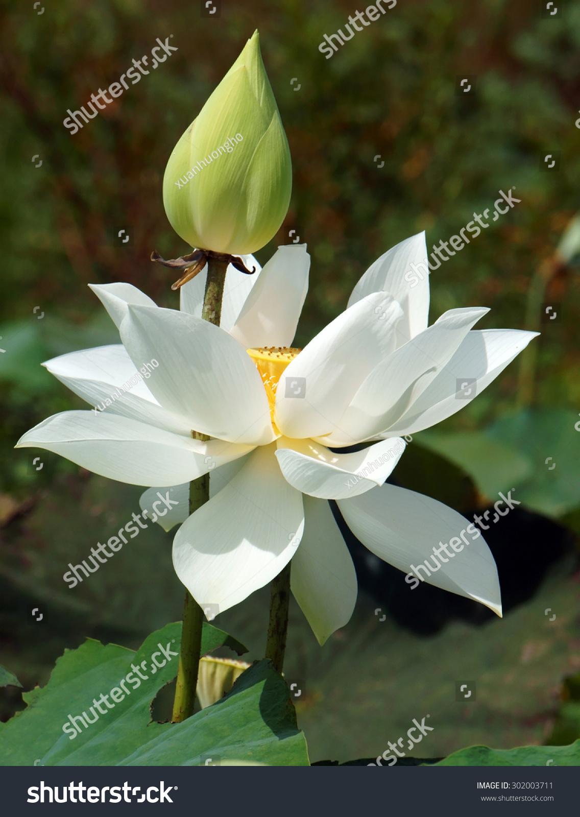 Vietnamese Flower Pure White Lotus Flower Stock Photo Edit Now