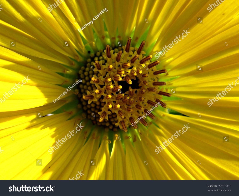 Closeup Center Golden Yellow Aster Flower Stock Photo Royalty Free