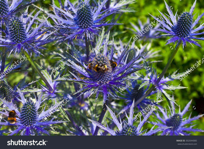 Blue Thistle Like Flower Eryngium Alpinum Stock Photo Edit Now
