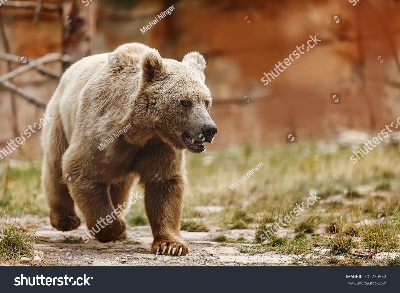 very nice Himalayan brown bear