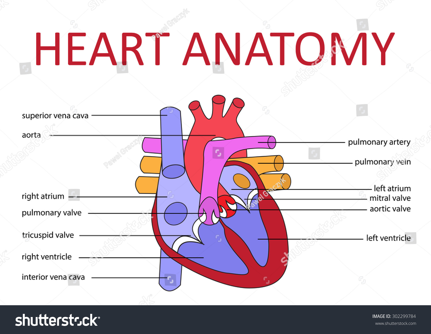 Human Heart Anatomy Schematic Diagram Vector Stock Vector Royalty