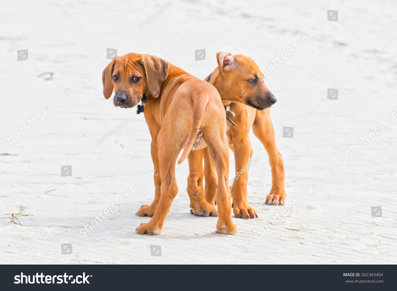 Rhodesian Ridgeback Puppies On Beach Stock Photo (Edit Now