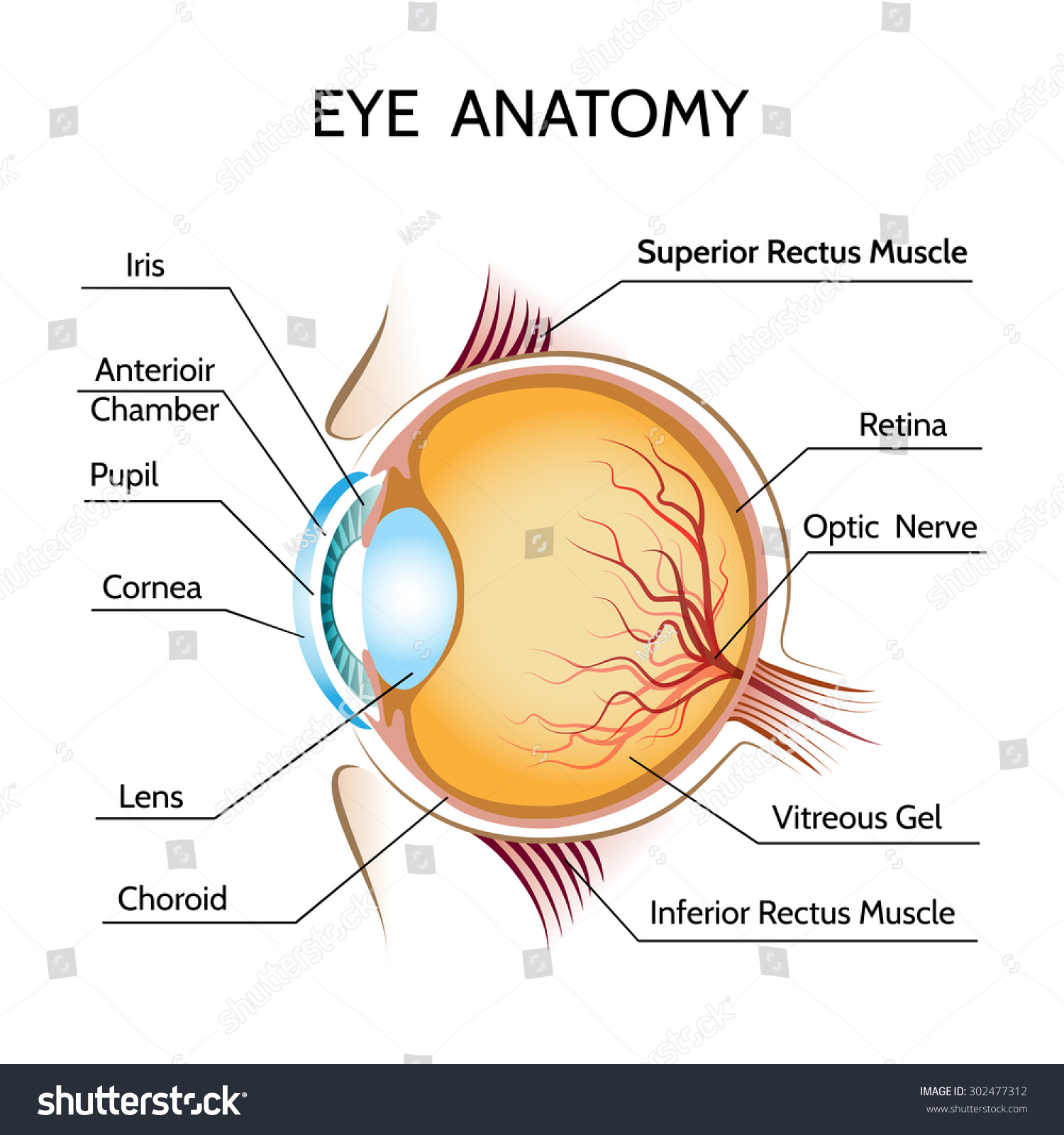 Eye Anatomy Iris Optic Pupil Vision Stock Vector 302477312 ...