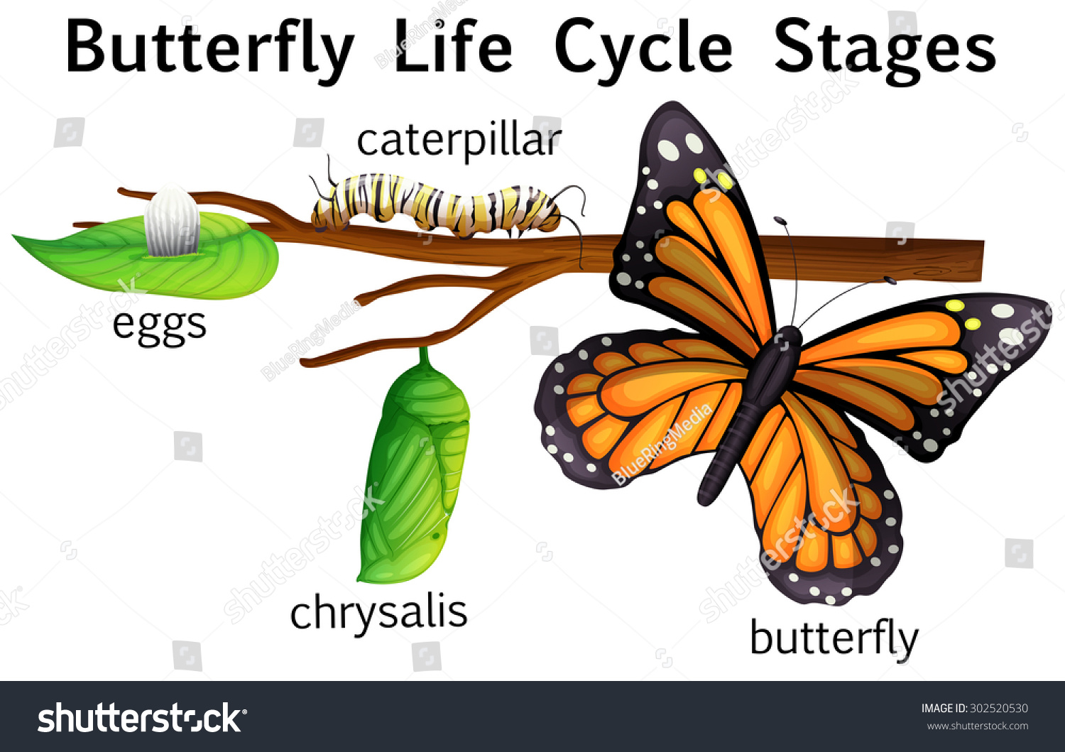 Worksheet Butterfly Life Cycle Stages butterfly life cycle stages illustration stock vector 302520530 illustration