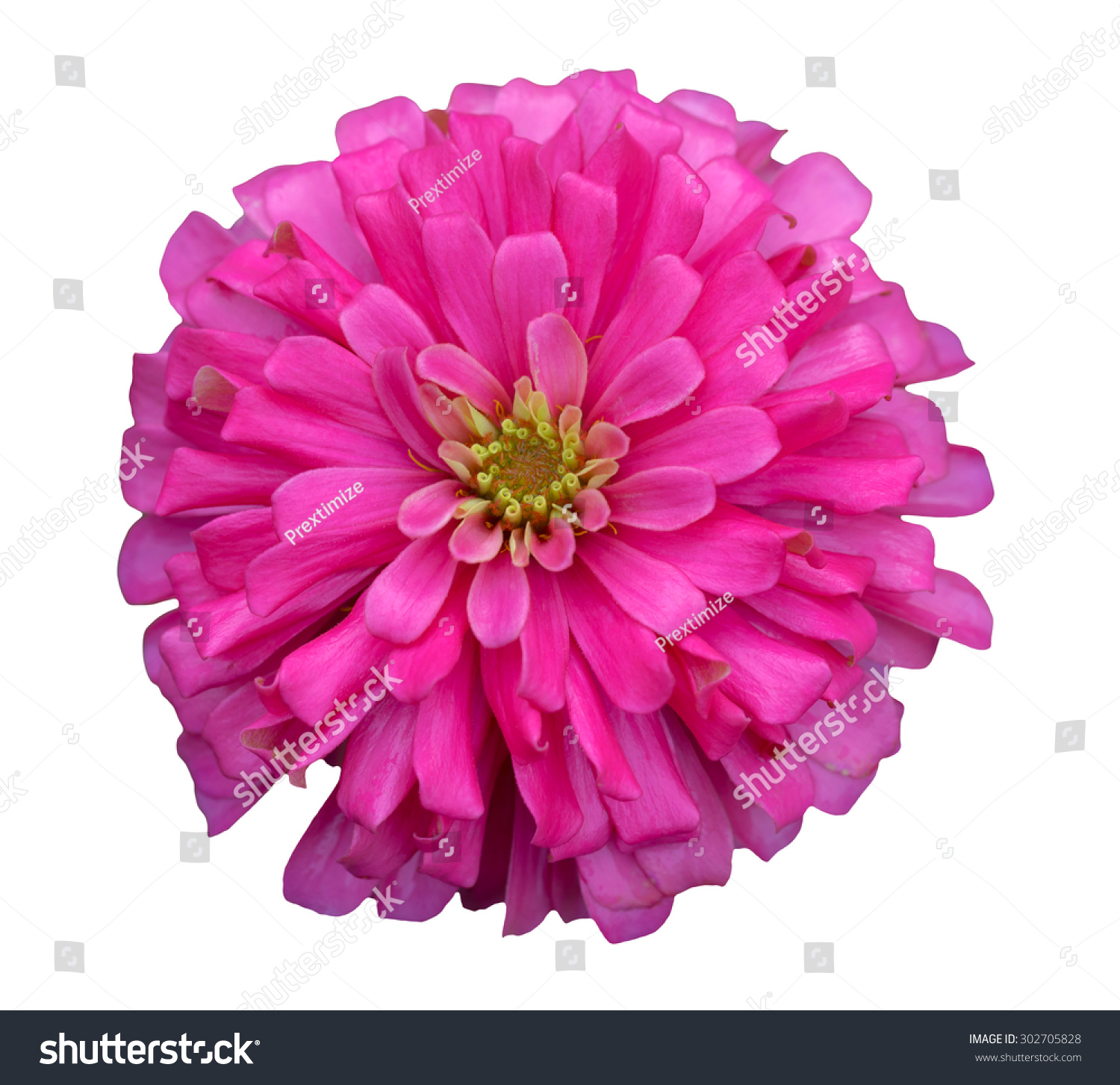 Beautiful Pink Zinnia Flower With White Background Ez Canvas