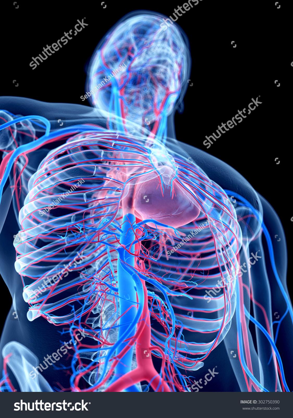 Human Vascular System Stock Illustration 302750390 Shutterstock