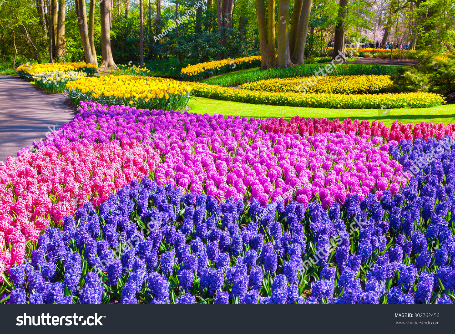 marvellous hyacinth flowers in the keukenhof park used as background beautiful outdoor scenery in