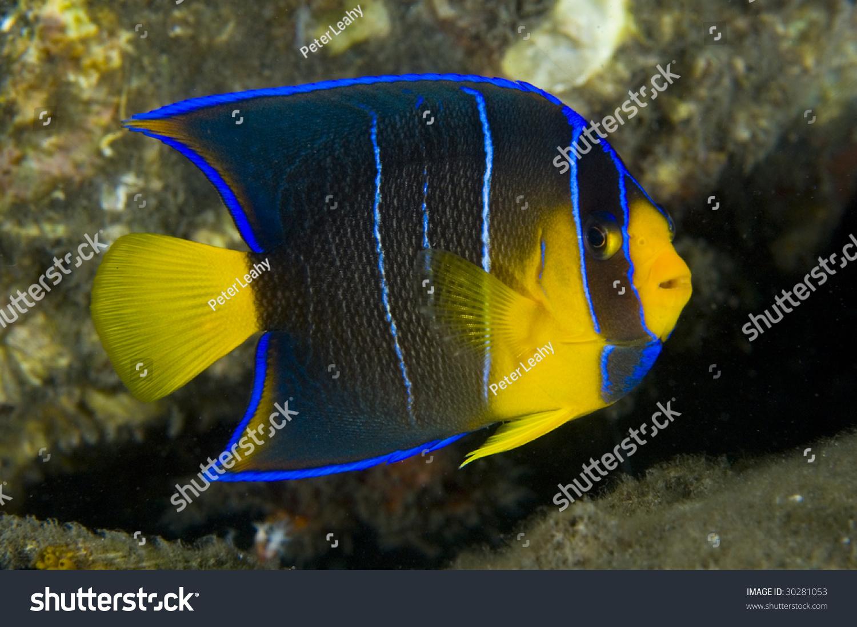 Blue angelfish juvenile
