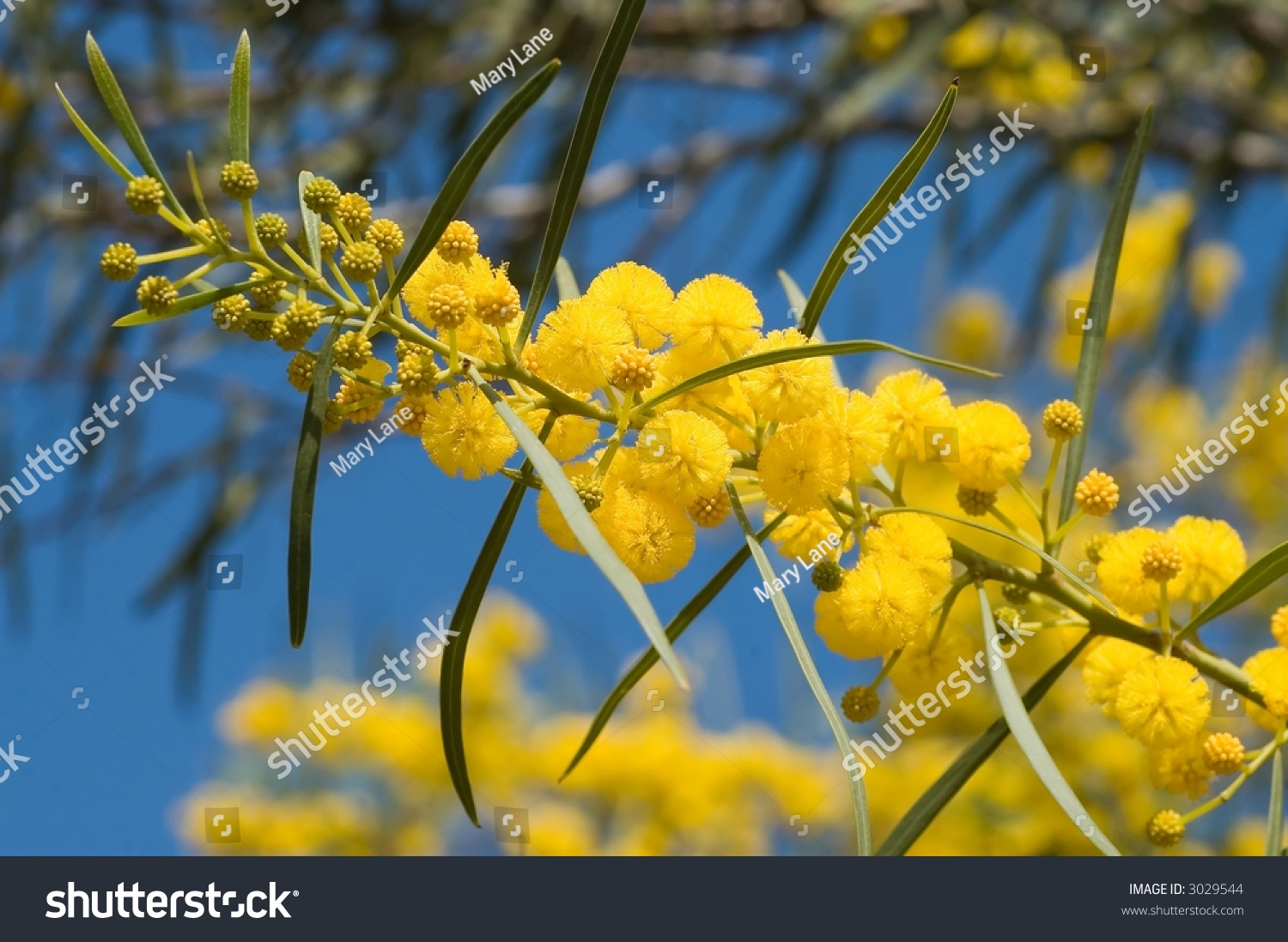 Flamboyant flowering tree big yellow popcorn stock photo safe to flamboyant flowering tree with big yellow popcorn like flowers galilee israel mightylinksfo