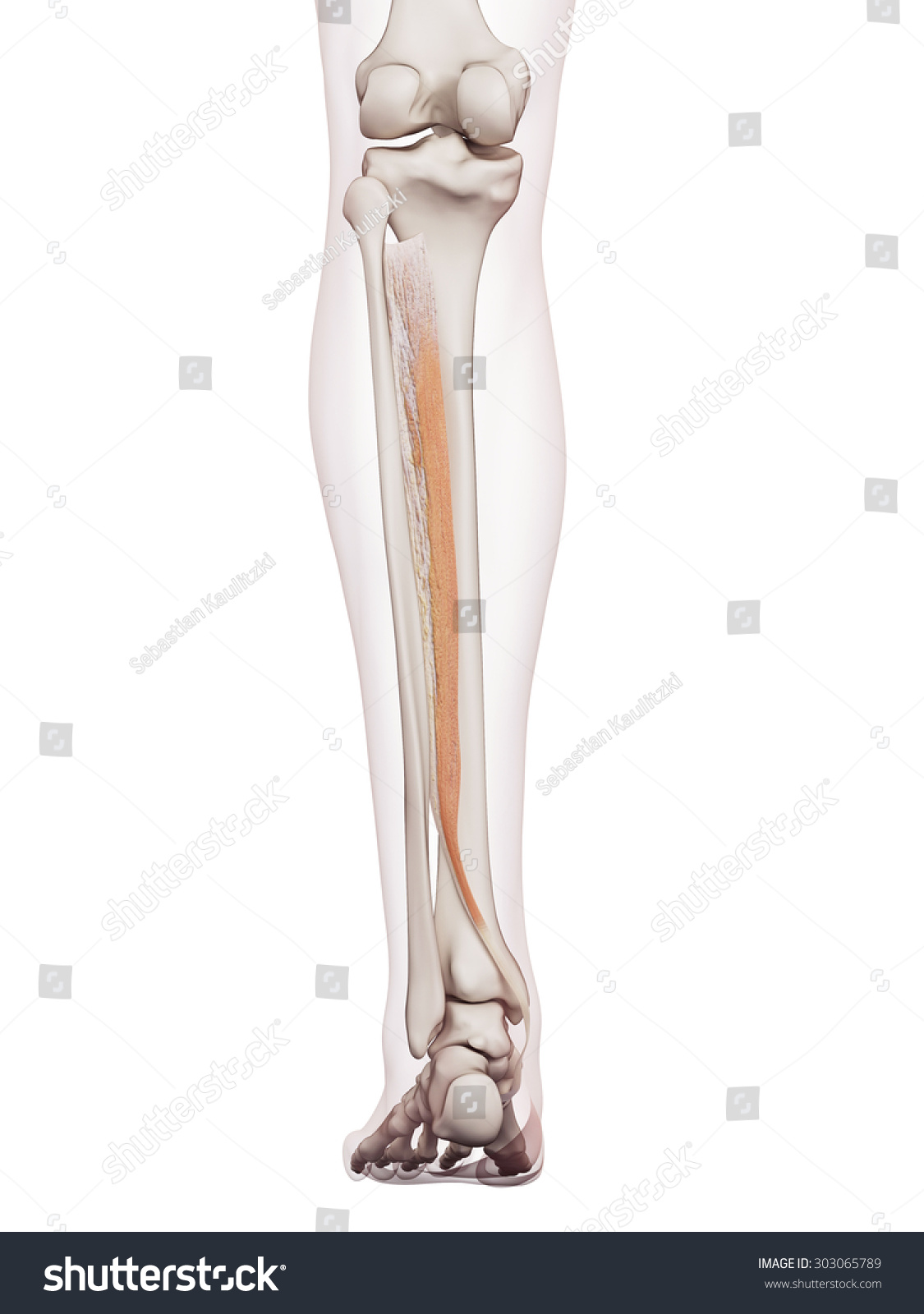 Medically Accurate Muscle Illustration Tibialis Posterior Stock ...