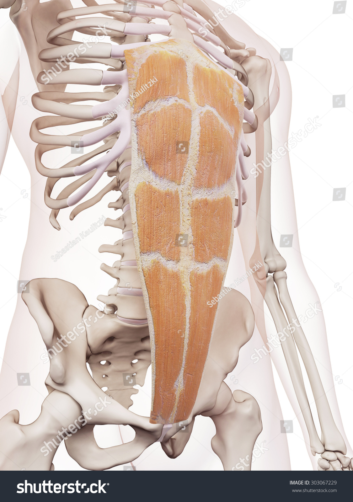 Medically Accurate Muscle Illustration Rectus Abdominis Stock ...