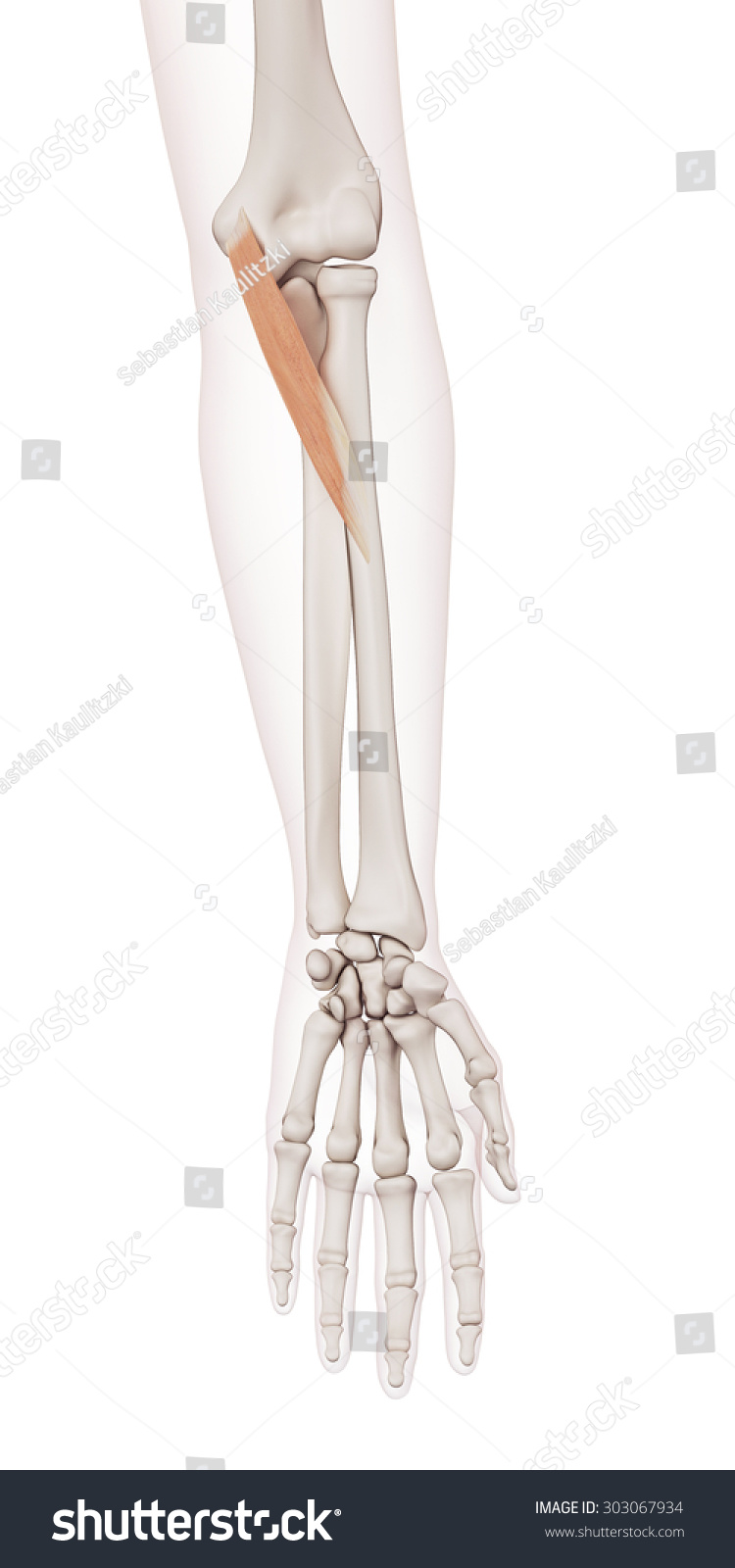 Medically Accurate Muscle Illustration Pronator Teres Stock ...