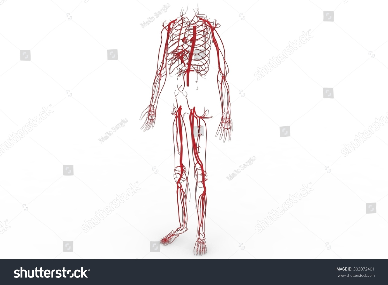 Blood System Circulatory System Cardiovascular System Stock