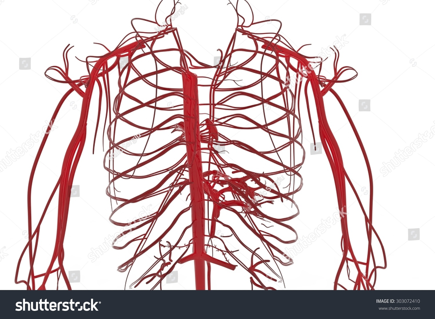 Blood System Circulatory System Cardiovascular System Stock