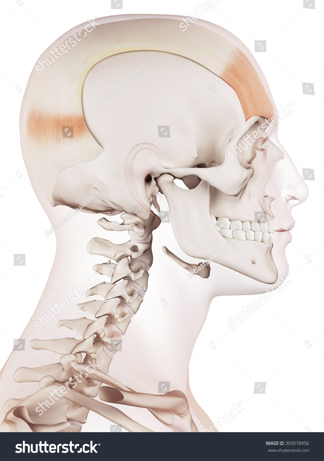 Medically Accurate Muscle Illustration Frontalis Stock Illustration