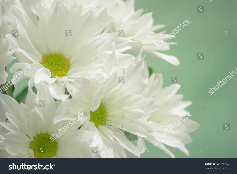 Closeup White Mum Flower Green Background Stock Photo Royalty Free