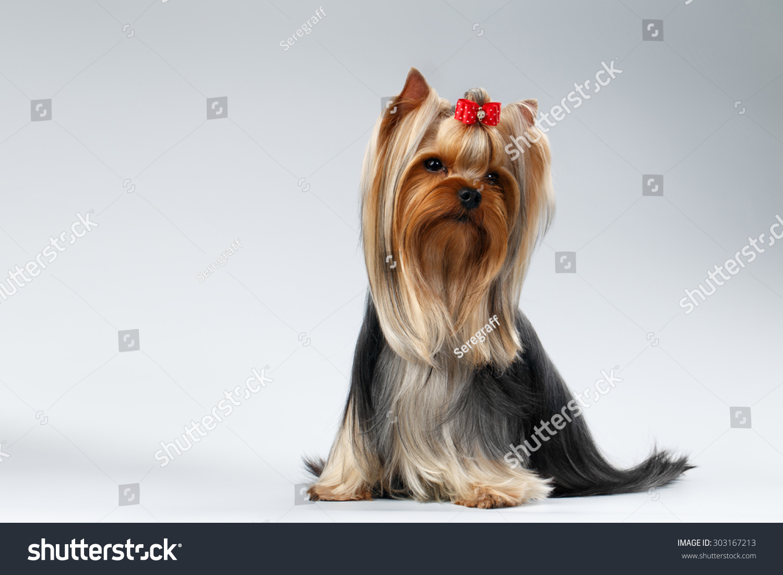 Yorkshire Terrier Dog Long Groomed Hair Stock Photo Edit Now