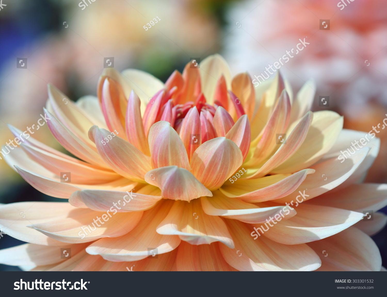 Closeup Of A Beautiful Dahlia Flower In Vibrant Colors Ez Canvas