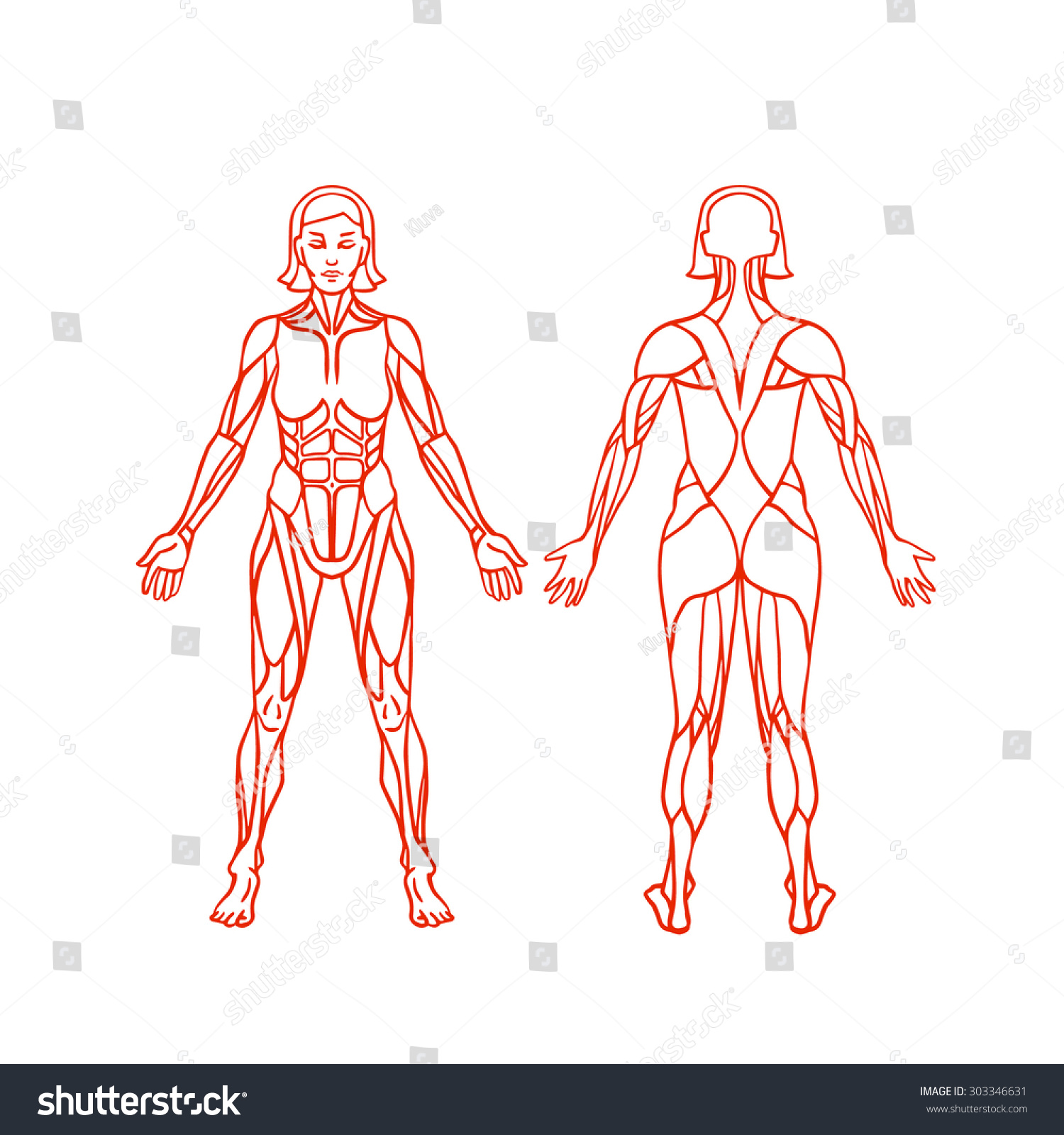 Anatomy Female Muscular System Exercise Muscle Stock Vector Hd