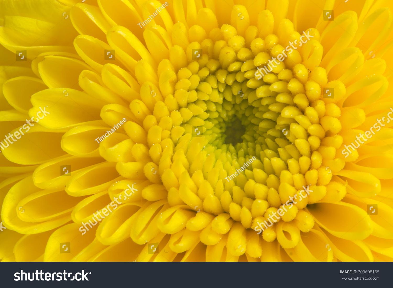 Closeup Yellow Mum Flower Stock Photo Royalty Free 303608165