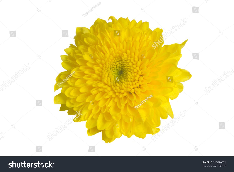 Yellow Mum Flower Isolated On White Background Ez Canvas
