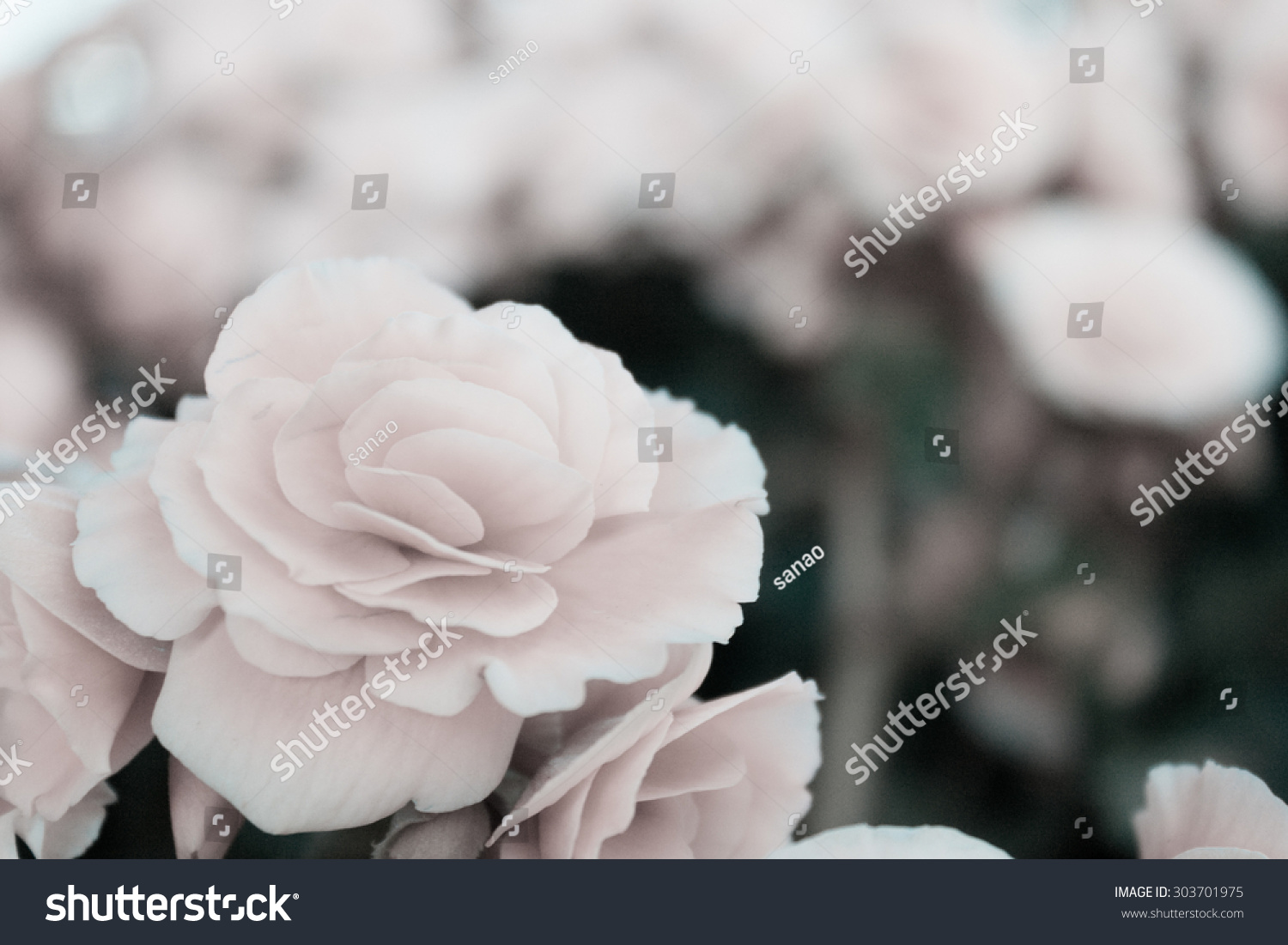 Abstract Background Of Bougainvillea Flowers Soft Tone Black And