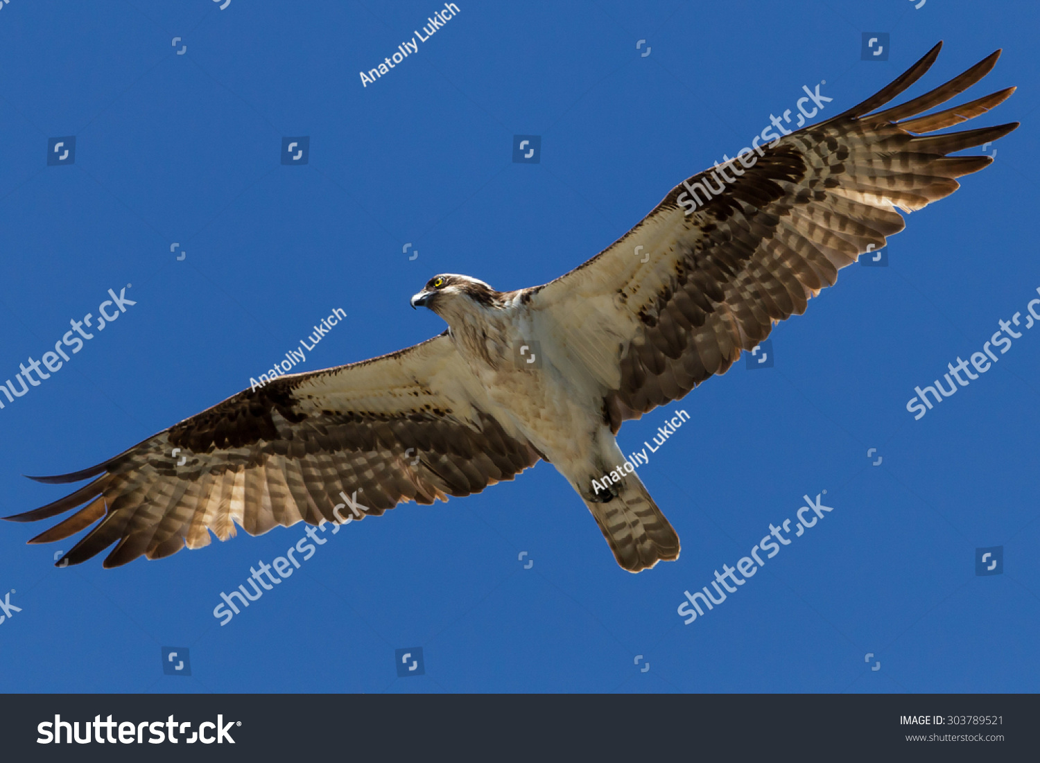 a report on ospreys or fish hawk