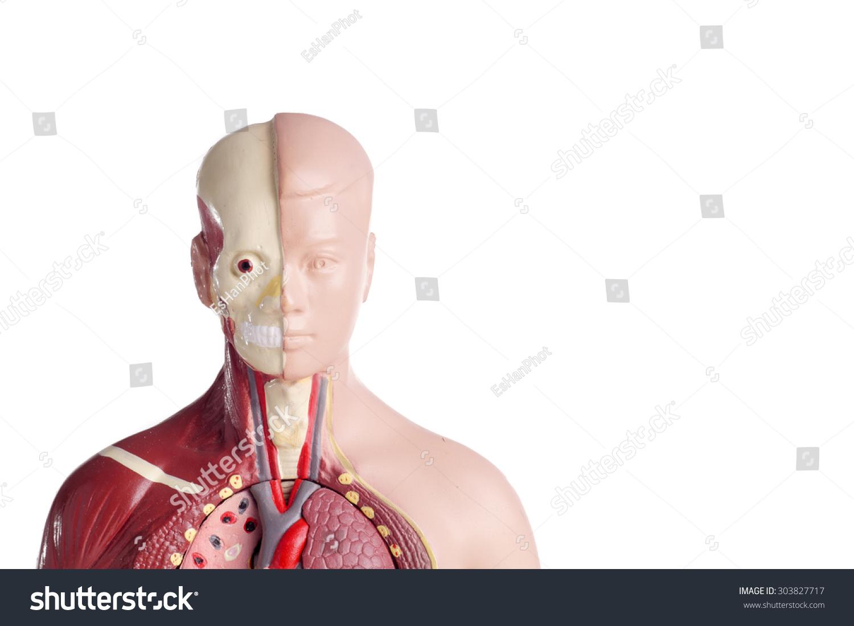 Human Anatomy Model Stethoscope Used Teaching Stock Photo 100