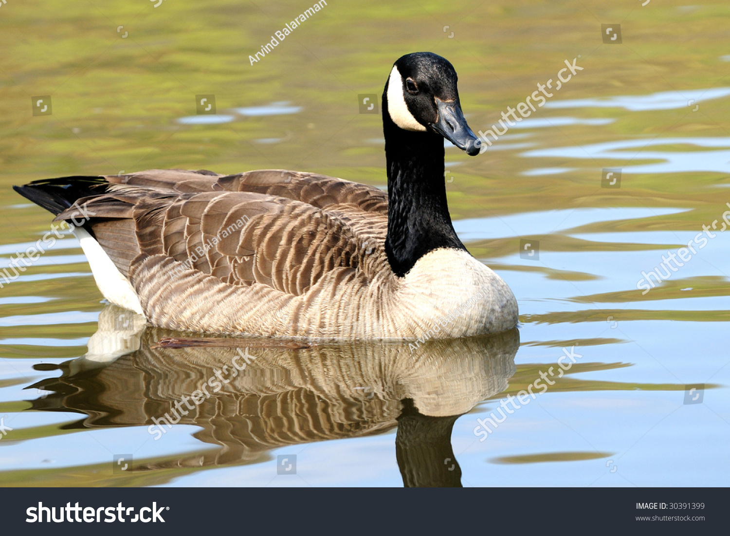 Beautiful Canadian Goose On A Bright Sunny Summer Day