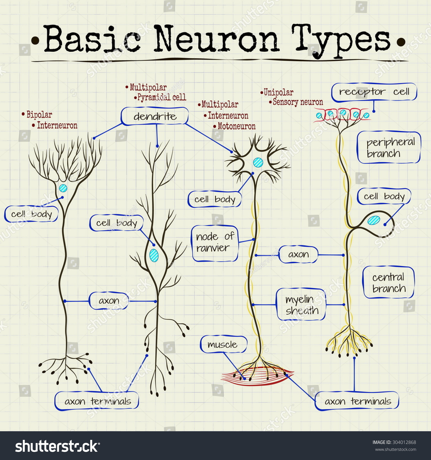 Vector drawing basic types neurons stock vector 304012868 shutterstock vector drawing of the basic types of neurons ccuart Gallery