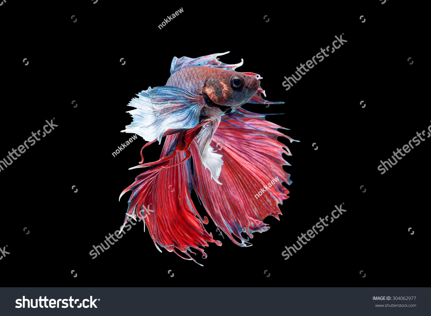 Fancy Halfmoon Betta Capture Moving Moment Stock Photo 304062977 ...