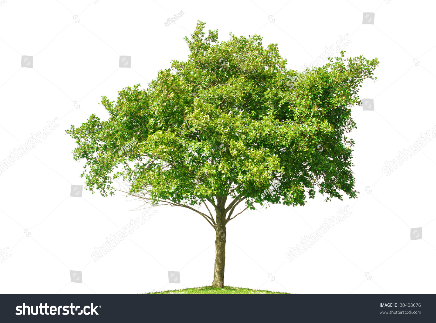 Small tree isolated on white background stock photo for Short trees
